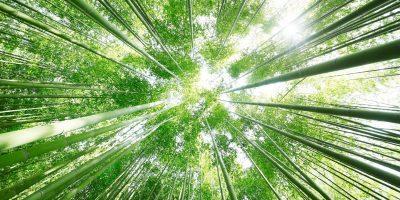 21078794 - bamboo grove